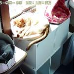 昼寝をする猫たち。