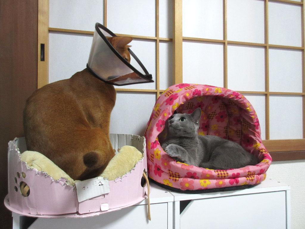 猫パンチを繰り出そうとするロシ子。