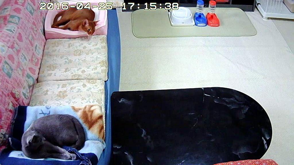 注目する我が家の猫たち。
