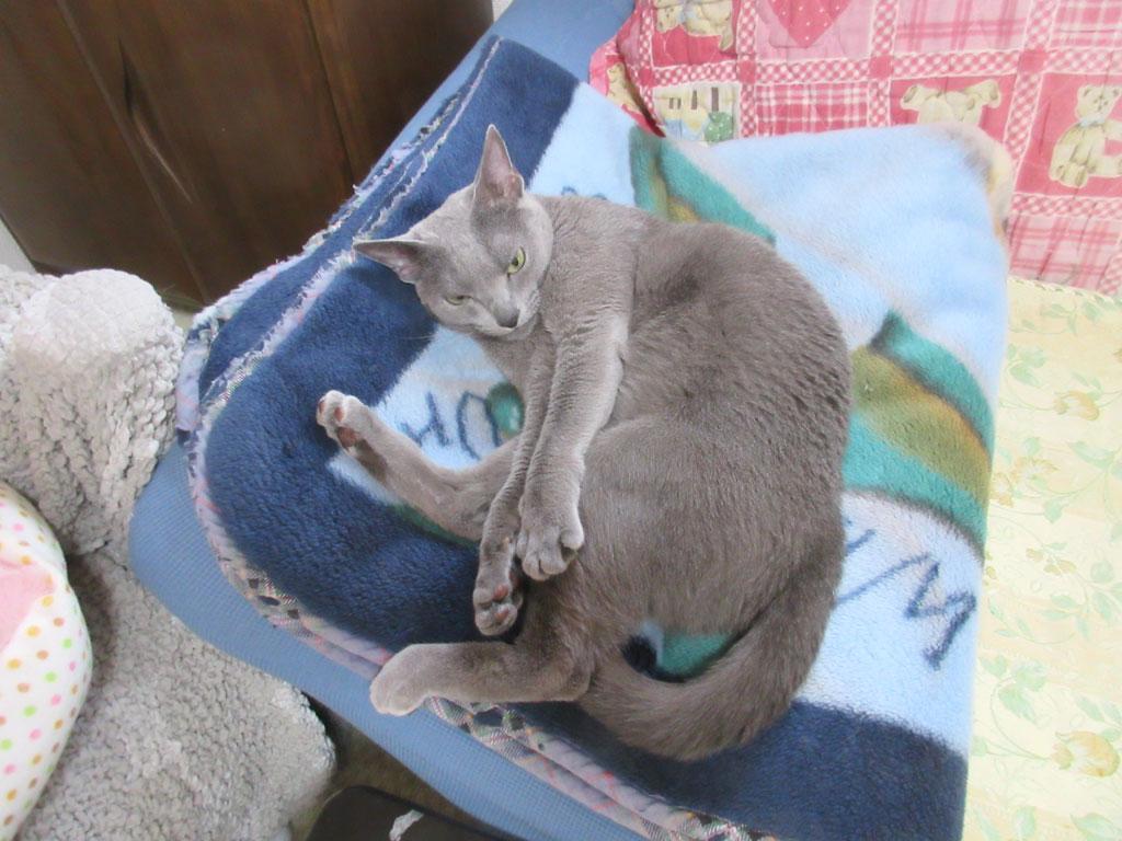 毛布の上で寝てるロシ子。