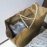 紙袋大好きなロシアンブルー。