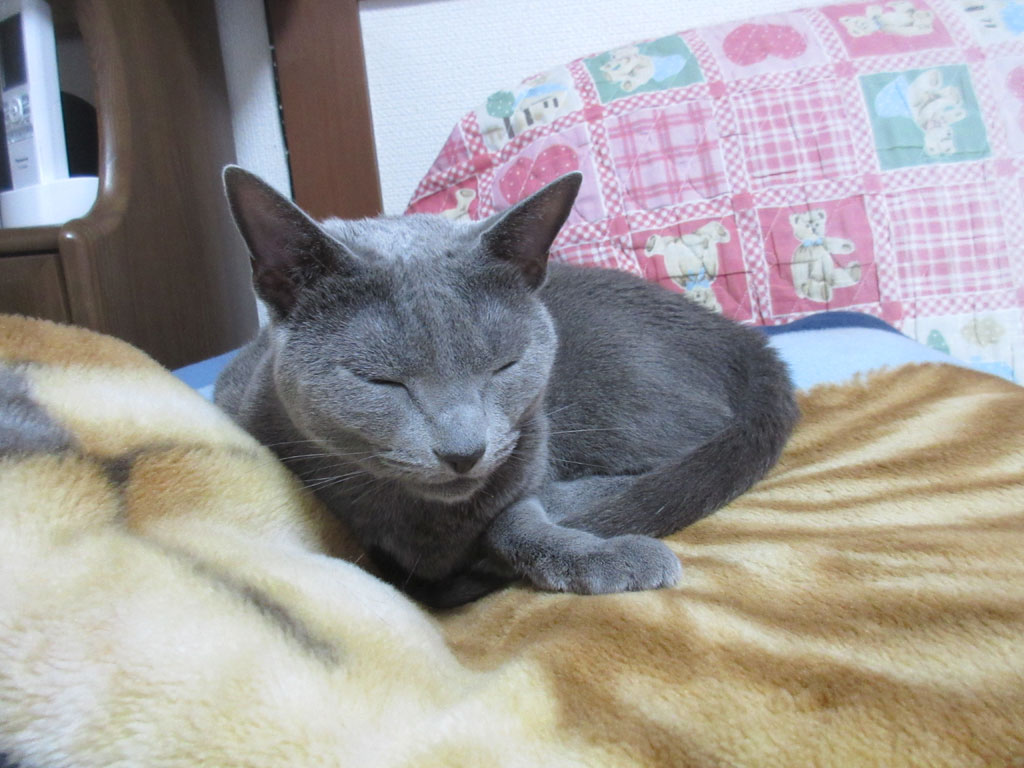 愛猫のロシアンブルーのロシ子ちゃん。