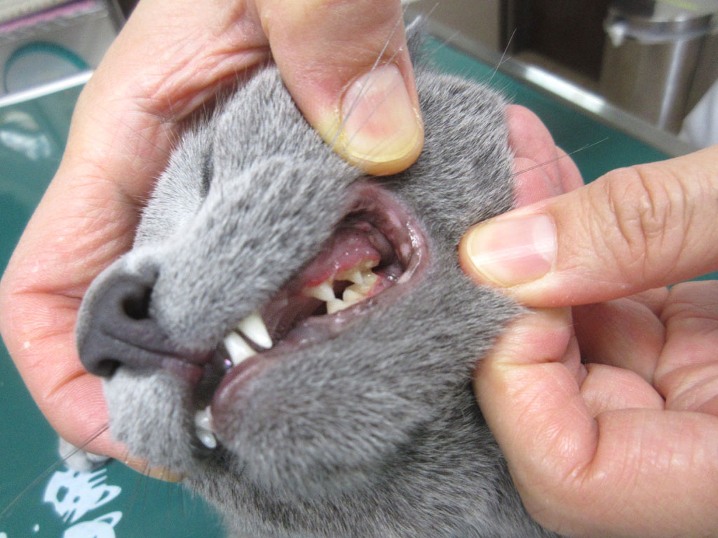 ロシ子の左側の歯茎は赤い。
