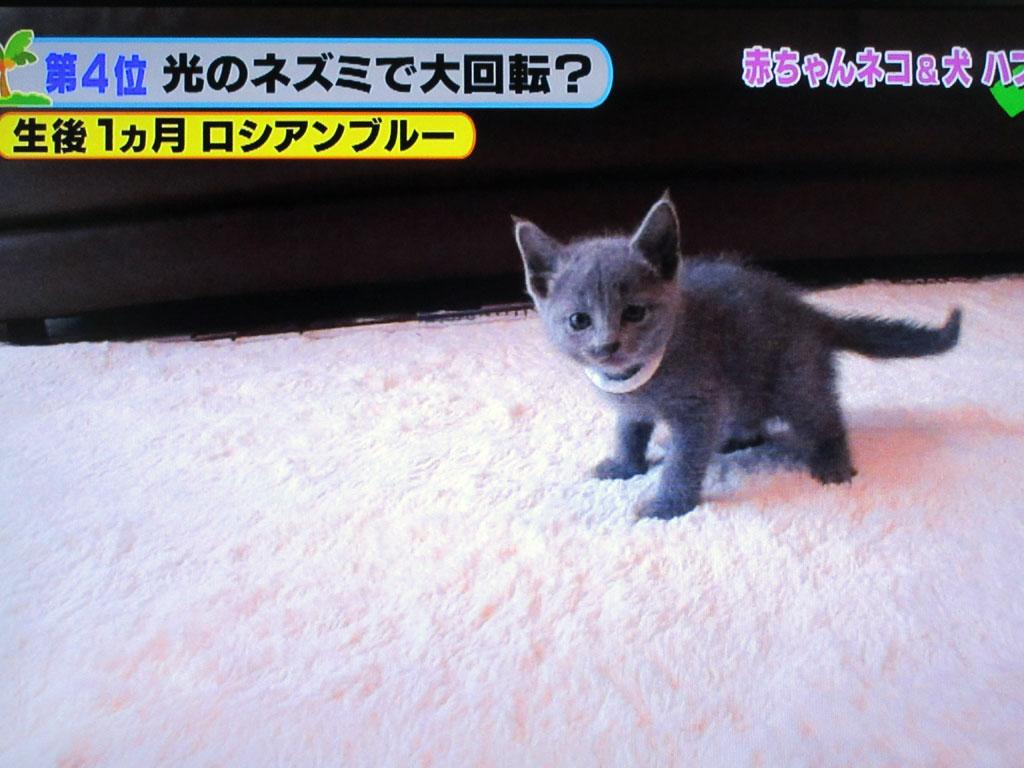 もう1匹のロシアンブルーの赤ちゃん。