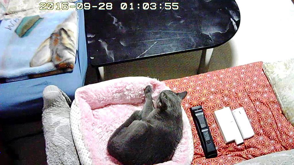 猫ベットに移動したロシ子。