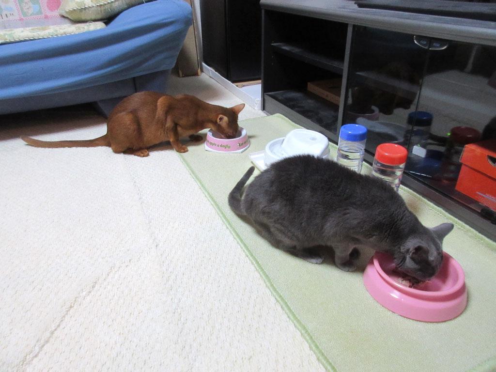 ガツガツ食べる猫たち。