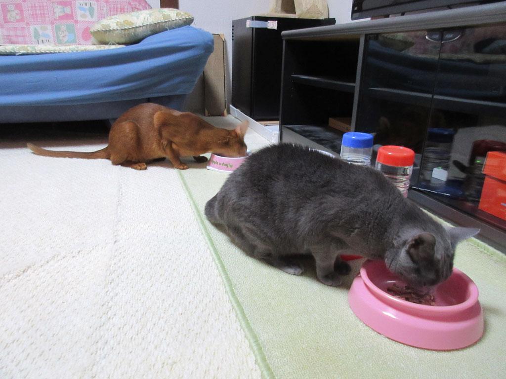 あっという間に平らげた猫たち。