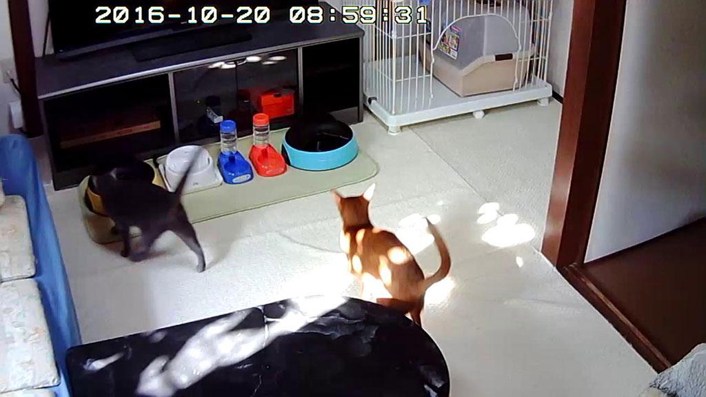 猫たちの朝ご飯の時間。