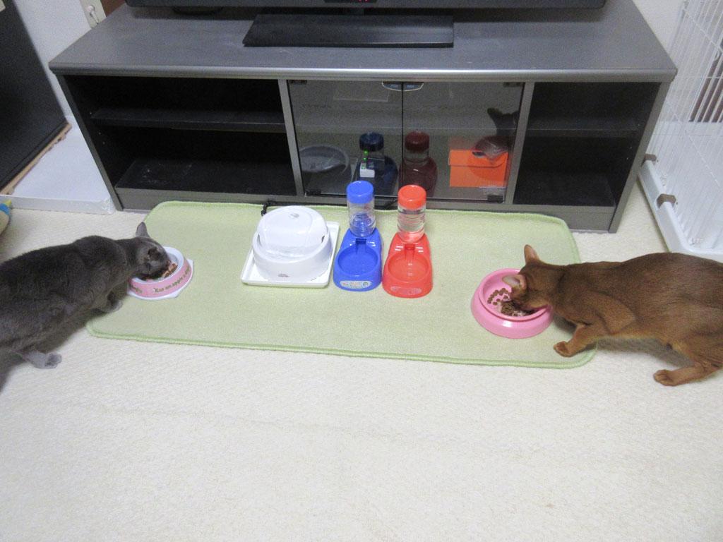 ガツガツ食べてた猫たち。