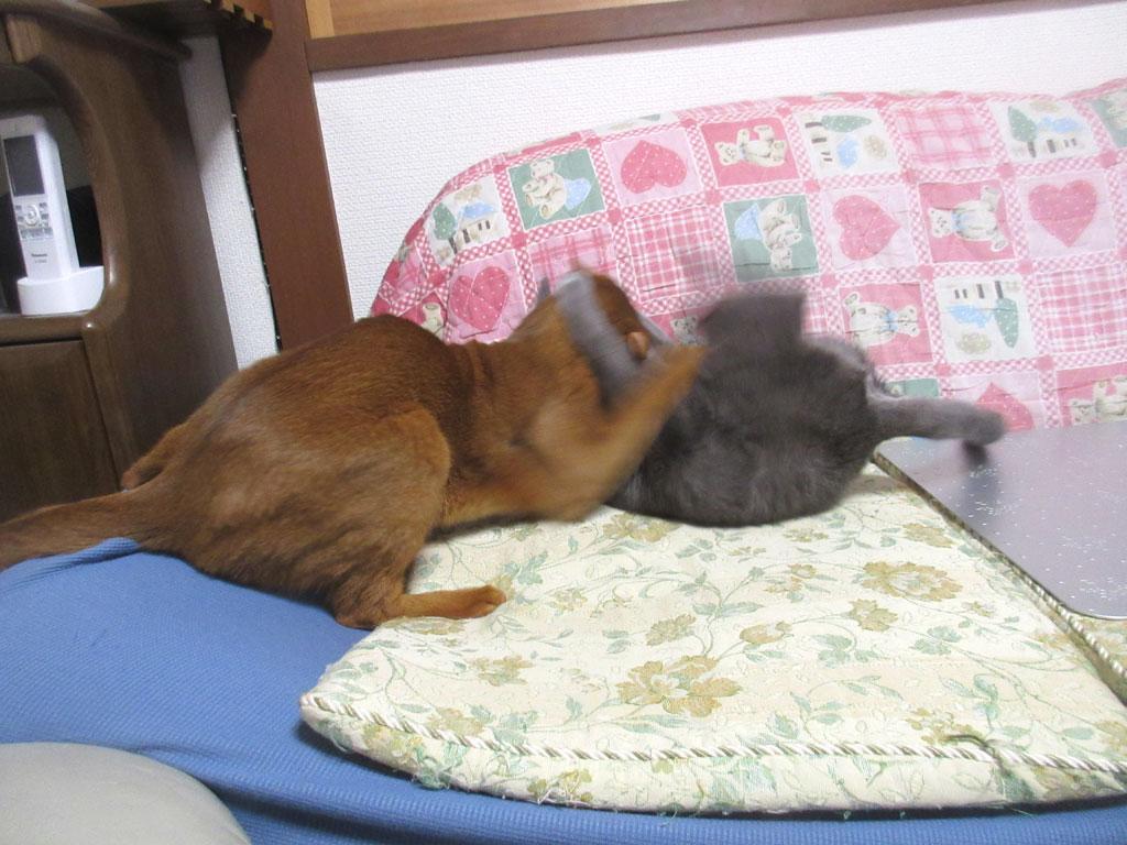 ロシ子が猫キック。