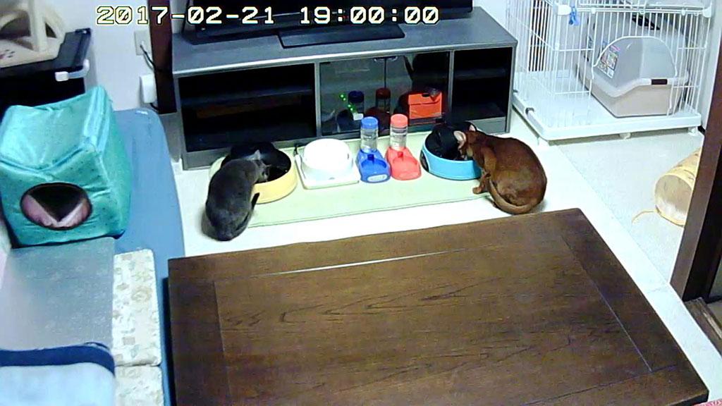 自分のご飯を食べる猫たち。