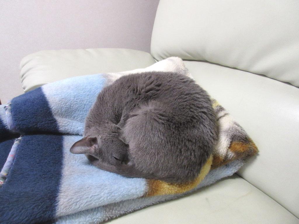 丸まって寝てるロシ子ちゃん。