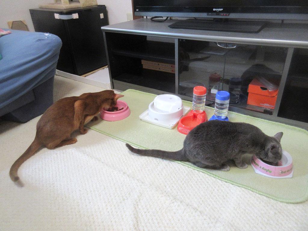 猫たちの朝ご飯。
