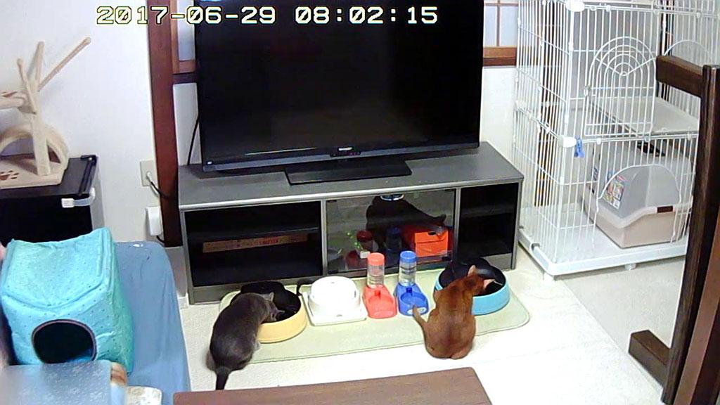朝ご飯を食べる我が家の猫たち。