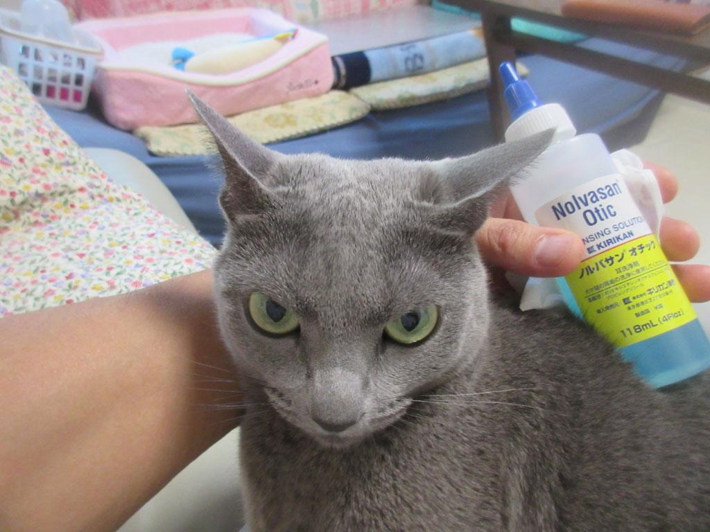 ロシ子の耳の掃除。