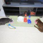 猫たちの晩ご飯。