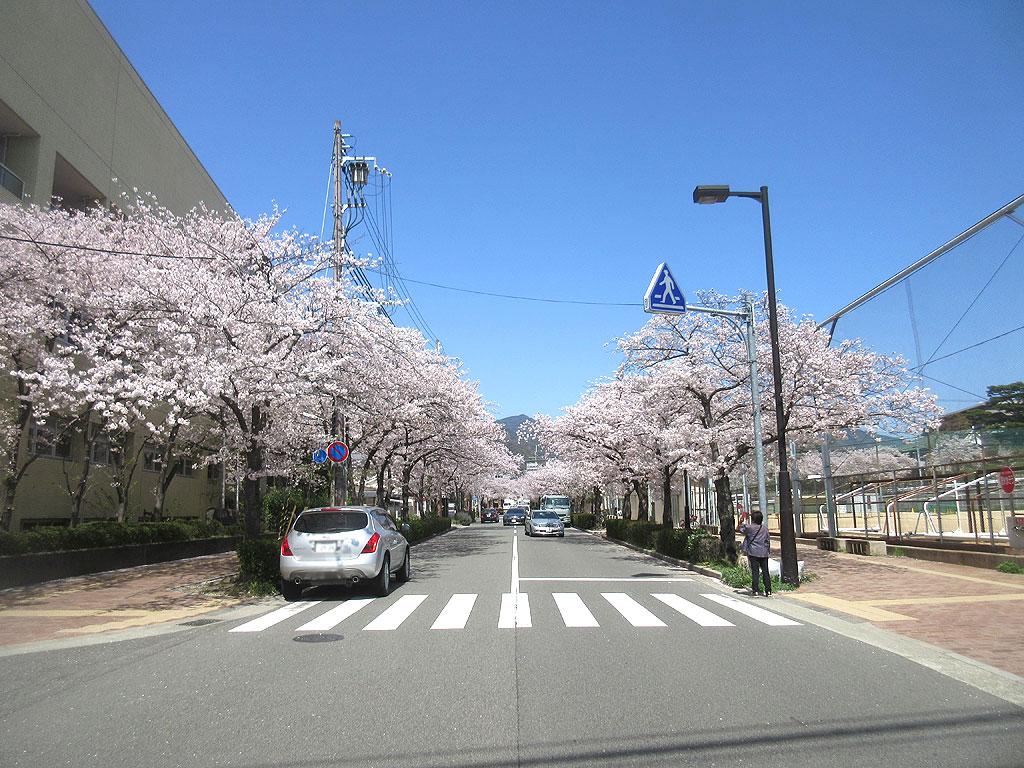 芦屋の桜並木。