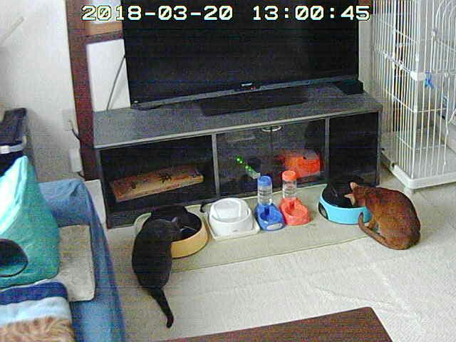 猫たちのお昼ご飯。