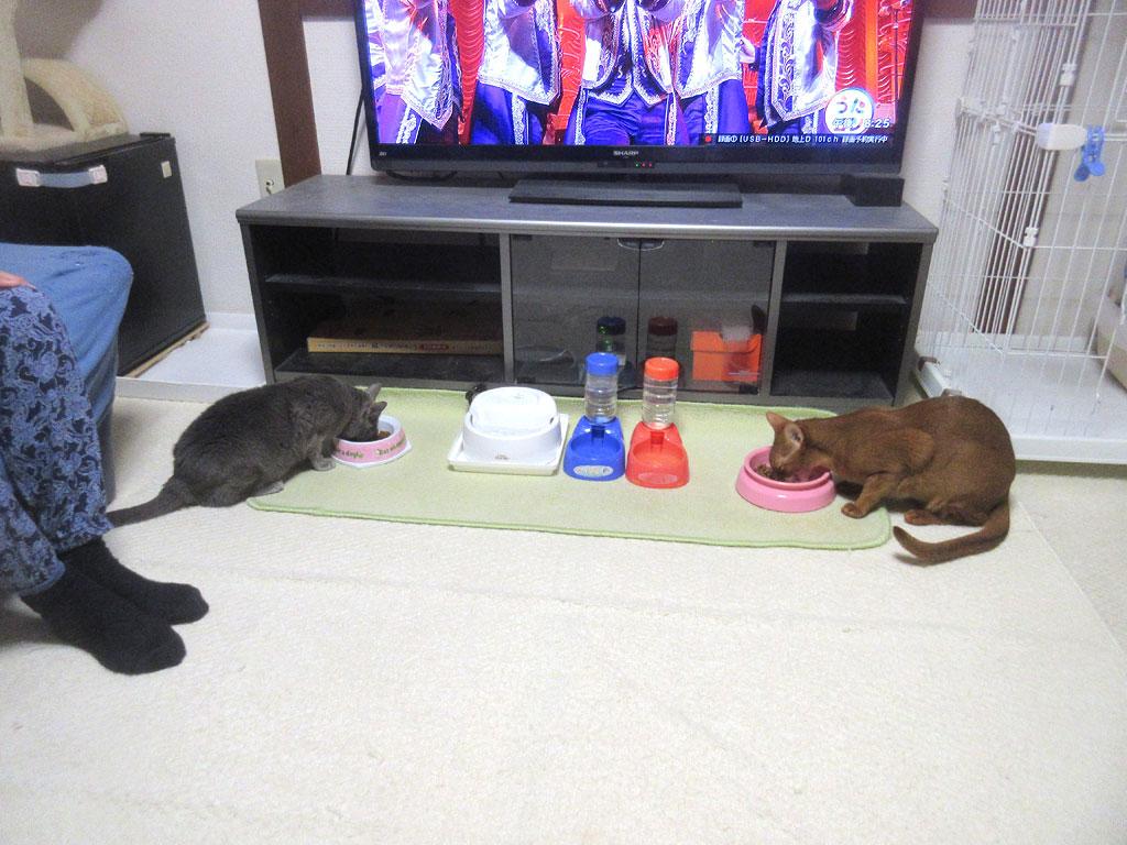 元気にご飯を食べる猫たち。