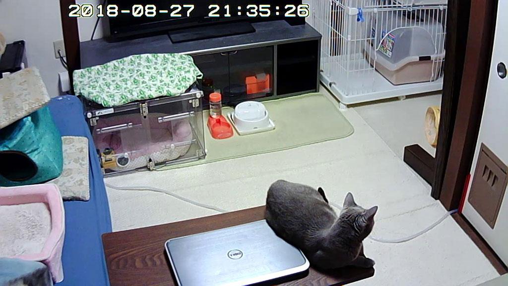 晩ご飯を待ってるロシ子ちゃん。