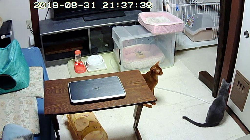ロシ子が晩ご飯待ちをしてる。