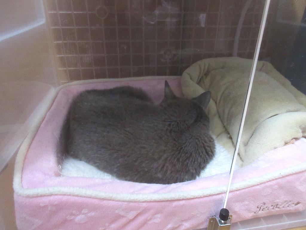 酸素室で寝るロシ子ちゃん。