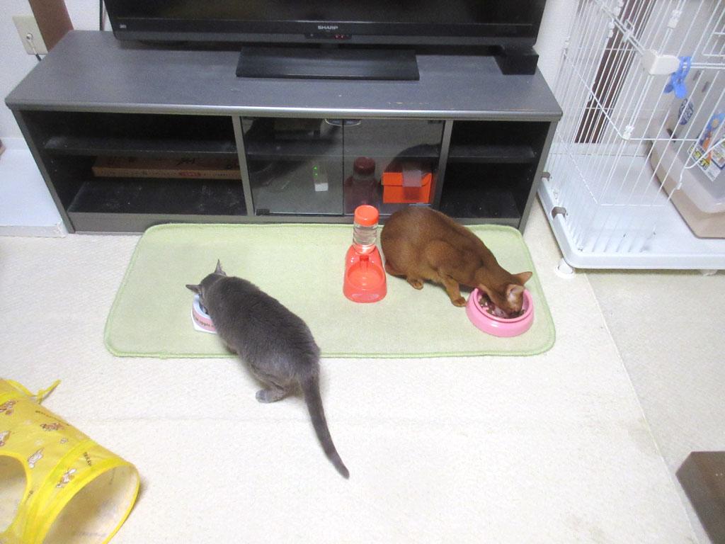 食欲があるロシ子ちゃん。