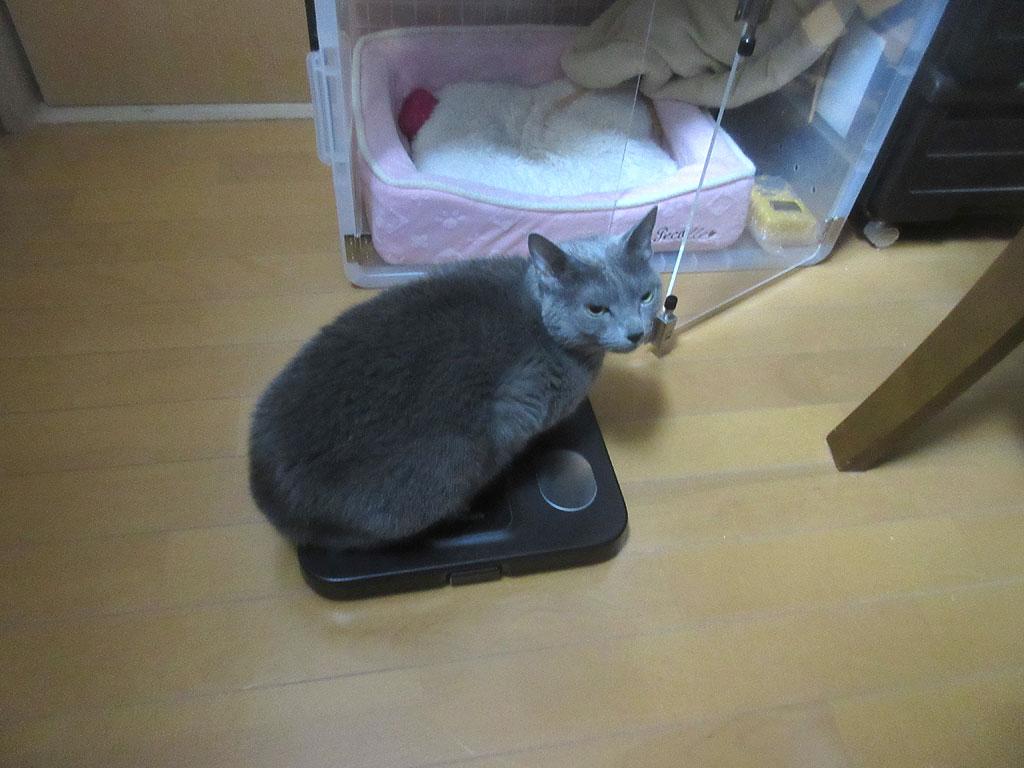 体重を測るロシ子ちゃん。